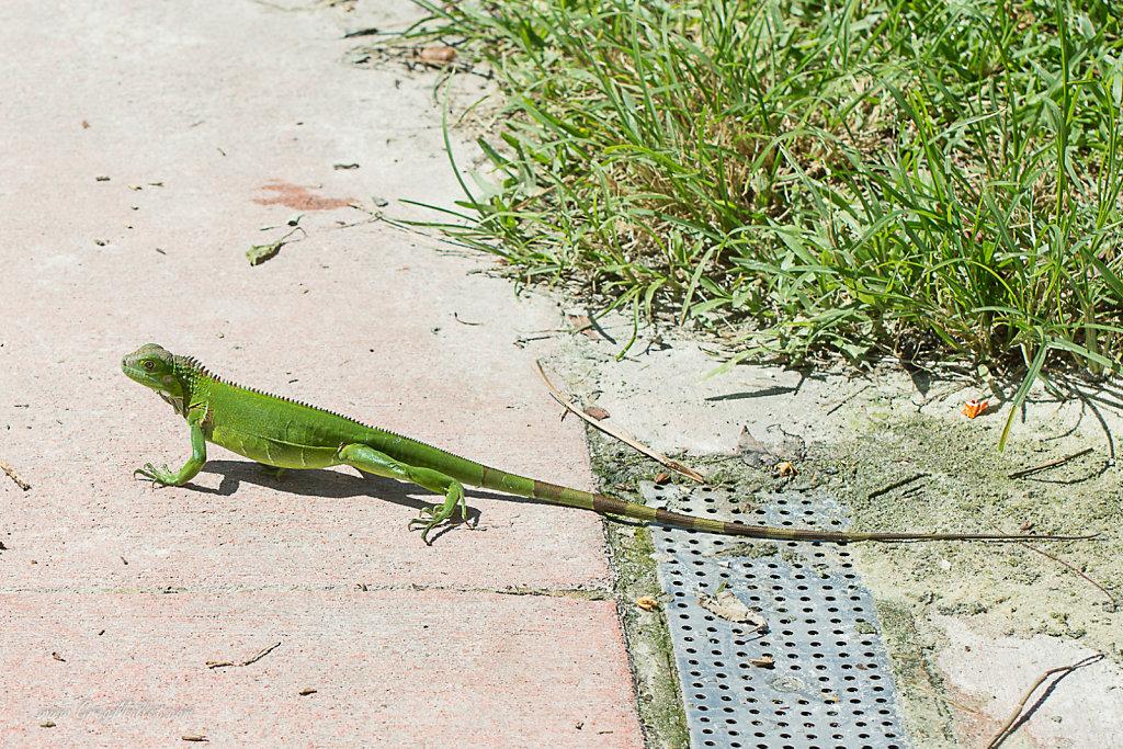 Iguane-Key-West-1.jpg