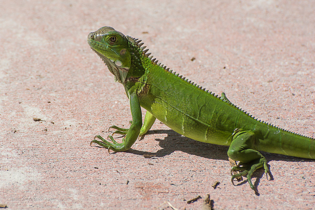 Iguane-Key-West-2.jpg