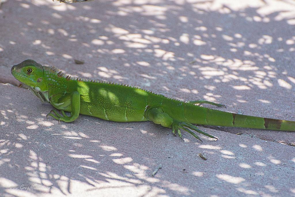 Iguane-Key-West-3.jpg